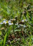 Foto macra de una abeja que chupa el néctar de una pequeña flor blanca y amarilla Imágenes de archivo libres de regalías