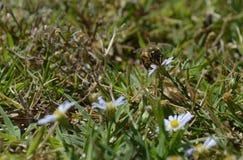 Foto macra de una abeja que chupa el néctar de un wildflower en el verano Imagen de archivo