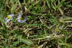 Foto macra de una abeja que chupa el néctar de un wildflower en el verano Imagenes de archivo