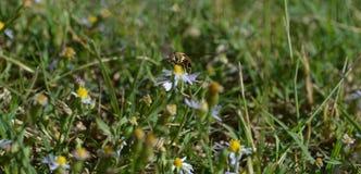 Foto macra de una abeja que consigue lista para llevar el vuelo Fotos de archivo