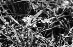Foto macra de una abeja que poliniza una pequeña flor blanca y amarilla Imagen de archivo