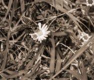 Foto macra de una abeja que poliniza una pequeña flor blanca y amarilla Fotos de archivo libres de regalías