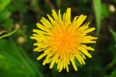 Foto macra de una planta del diente de león Planta del diente de león con un brote amarillo mullido Crecimiento de flor amarillo  fotos de archivo