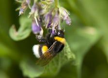 Foto macra del abejorro Imagen de archivo libre de regalías