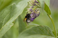 Foto macra del abejorro agradable Fotografía de archivo libre de regalías