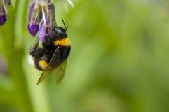 Foto macra del abejorro agradable 1 Imágenes de archivo libres de regalías