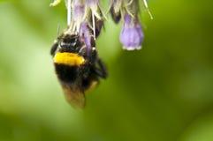 Foto macra del abejorro agradable Imagen de archivo