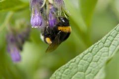 Foto macra del abejorro agradable Foto de archivo libre de regalías