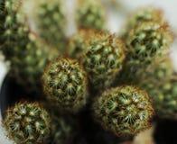 Foto macra del cactus de la planta verde foto de archivo