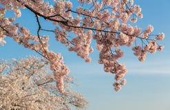 Foto macra del detalle de las flores japonesas de la flor de cerezo imagen de archivo