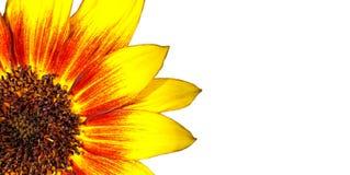 Foto macra del girasol anaranjado, rojo y amarillo de la llama con colores brillantes intensos imponentes como frontera del marco Fotos de archivo libres de regalías
