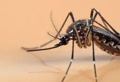 Foto macra del mosquito de la fiebre amarilla aislado en fondo anaranjado imágenes de archivo libres de regalías