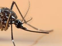 Foto macra del mosquito de la fiebre amarilla aislado en fondo anaranjado imagen de archivo