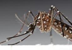 Foto macra del mosquito de la fiebre amarilla en fondo imagenes de archivo