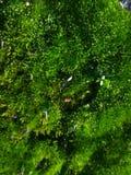 Foto macra del musgo Foto de archivo