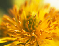 Foto macra del ojo del faisán (vernalis de Adonis) Imagenes de archivo