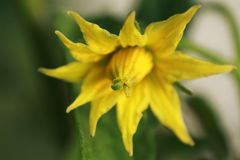 Foto macra del pétalo de la flor del tomate imágenes de archivo libres de regalías