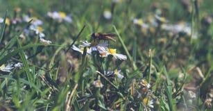 Foto macra del perfil de una abeja que chupa el néctar de una pequeña flor blanca y amarilla Imagenes de archivo
