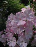 Foto macra del polemonio delicado de las flores como símbolo del éxito, pureza, longevidad imagen de archivo
