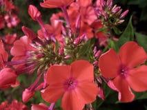 Foto macra del polemonio floreciente de las plantas herbáceas de los pétalos rosados de la flor Imágenes de archivo libres de regalías