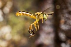 Foto macra del vuelo del angustula de Tetragonisca de la abeja - angustula de la abeja JataÃ-/de Tetragonisca Foto de archivo libre de regalías