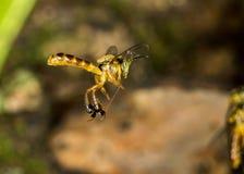 Foto macra del vuelo de la abeja de Jataà - angustula de Tetragonisca de la abeja Foto de archivo