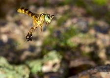 Foto macra del vuelo de la abeja de Jataà - angustula de Tetragonisca de la abeja Fotografía de archivo