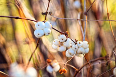 Foto macra Invierno, hojas amarilleadas y fisyat encogido de las bayas solamente en las ramas desnudas de árboles en un cielo azu Imagen de archivo libre de regalías
