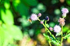Foto macra Una abeja se sienta en una flor púrpura brillante de la caída Imagenes de archivo