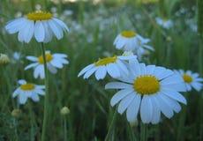 Foto macro com as flores selvagens bonitas de um fundo decorativo da textura da camomila medicinal da erva Fotos de Stock
