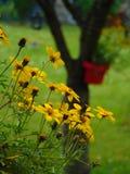 Foto macro com as margaridas em pasta das flores do jardim bonito com as pétalas amarelas no fundo borrado obscuro do jardim Imagens de Stock