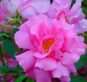 Foto macro com as pétalas cor-de-rosa brilhantes de uma textura decorativa do fundo da flor bonita das rosas Imagens de Stock