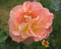 Foto macro com as pétalas cor-de-rosa brilhantes de uma textura decorativa do fundo da flor bonita das rosas Imagens de Stock Royalty Free