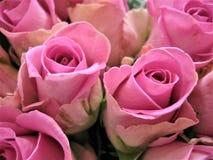 Foto macro com as pétalas decorativas da textura do fundo de flores bonitas das rosas Imagem de Stock Royalty Free