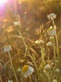 A foto macro com as plantas medicinais de fundo natural floresce margaridas selvagens Fotografia de Stock