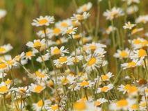 A foto macro com as plantas medicinais de fundo natural floresce margaridas selvagens Foto de Stock