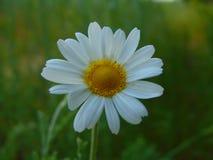 A foto macro com as plantas medicinais de fundo natural floresce margaridas selvagens Fotografia de Stock Royalty Free