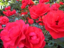 Foto macro com as rosas de arbusto bonitas do jardim com as pétalas de máscaras cor-de-rosa e corais no fundo do landscap do jard Fotos de Stock Royalty Free