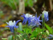 Foto macro com cor azul das pétalas decorativas da textura do fundo de plantas herbáceas Aquilegia Fotos de Stock