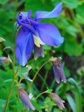 Foto macro com cor roxa das pétalas decorativas da textura do fundo de plantas herbáceas Aquilegia Imagens de Stock