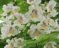 Foto macro com cores bonitas sob a forma das orquídeas nos bignonioides de Catalpa das árvores Imagens de Stock
