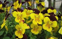 Foto macro com fundo decorativo da viola brilhante bonita das plantas herbáceas tricolor Foto de Stock Royalty Free