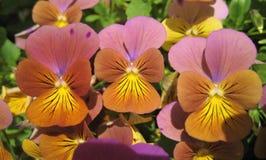 Foto macro com fundo decorativo da viola brilhante bonita das plantas herbáceas tricolor Foto de Stock