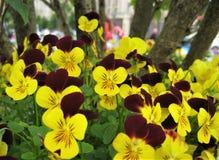Foto macro com fundo decorativo da viola brilhante bonita das plantas herbáceas tricolor Imagens de Stock