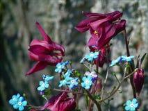 Foto macro com fundo decorativo de flores azuis bonitas do miosótis e de flores cor-de-rosa escuras de Aquilegia Foto de Stock Royalty Free