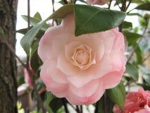 Foto macro com fundo decorativo de flores bonitas com as pétalas da máscara cor-de-rosa delicada de plantas da camélia Foto de Stock Royalty Free