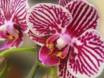 Foto macro com fundo decorativo de flores bonitas com as plantas listradas da orquídea das pétalas Foto de Stock