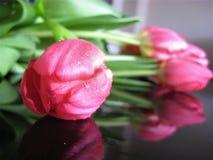 Foto macro com fundo decorativo de flores bonitas da planta herbácea das tulipas com as pétalas da cor cor-de-rosa suculenta nas  Fotos de Stock Royalty Free