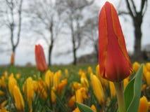 Foto macro com fundo decorativo de tulipas bonitas das flores com as pétalas da matiz vermelha e de açafrões amarelos Fotos de Stock Royalty Free