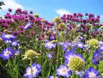 A foto macro com fundo decorativo do outono bonito floresce com as pétalas brilhantes da cor roxa e lilás Foto de Stock Royalty Free